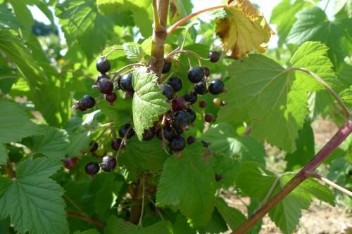 CASSIS Noir de Bourgogne.JPG