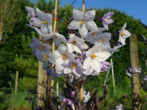 SOLANUM jasminoides Bleu.JPG