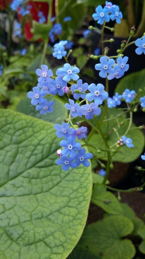 BRUNNERA macrophylla.jpg