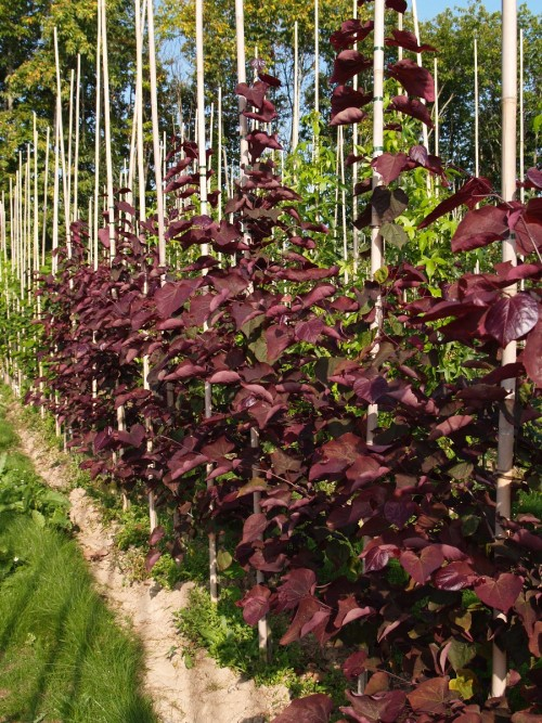 CERCIS canadensis Forest Pansy.JPG