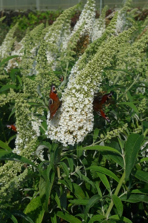 BUDDLEIA White profusion.JPG