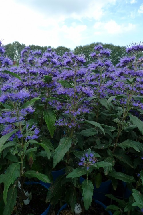 CARYOPTERIS x clandon Grand Bleu  (2).JPG