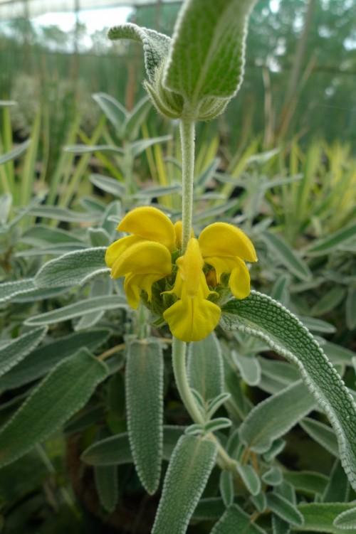 PHLOMIS fruticosa Bourgaei.JPG