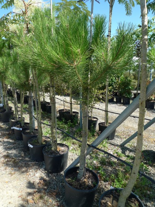 Pinuspinea1.JPG