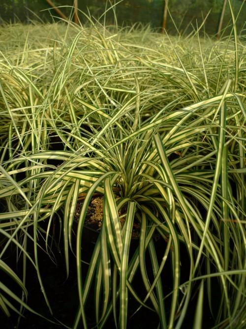 GRAMINEE carex oshimensis Evergold.JPG