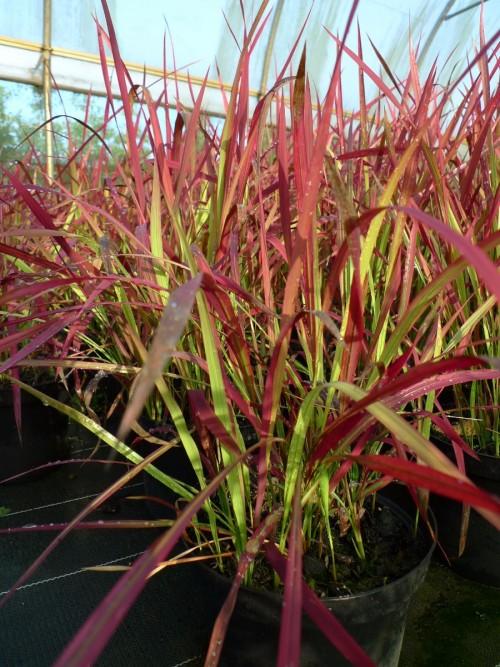 GRAMINEE imperata Cylindrica red baron.JPG